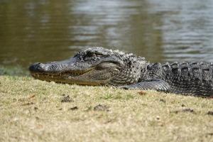 alligator-3069749_1920