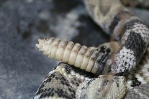 rattlesnake-415339_1920