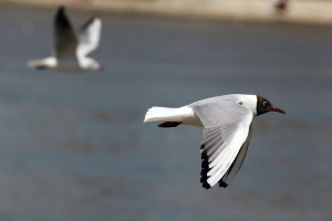 seagull-flying-bird-fly-66228