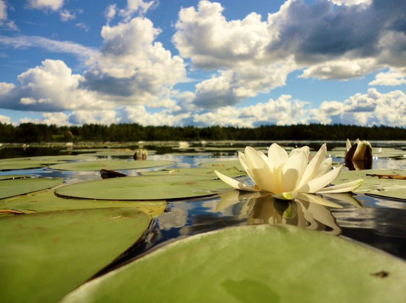 water-lily-2930857_1920